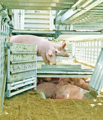 Hogs in Transportation Trailer
