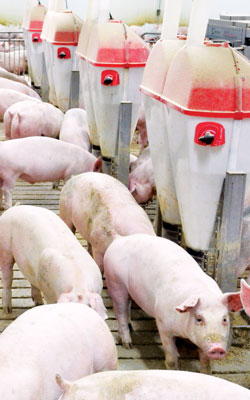 Pigs in Feeding Barn