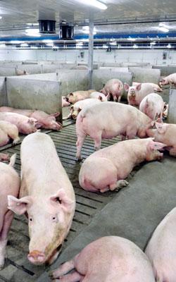 Pigs in Gestation Barn