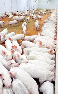 Pigs in Nursery Barn